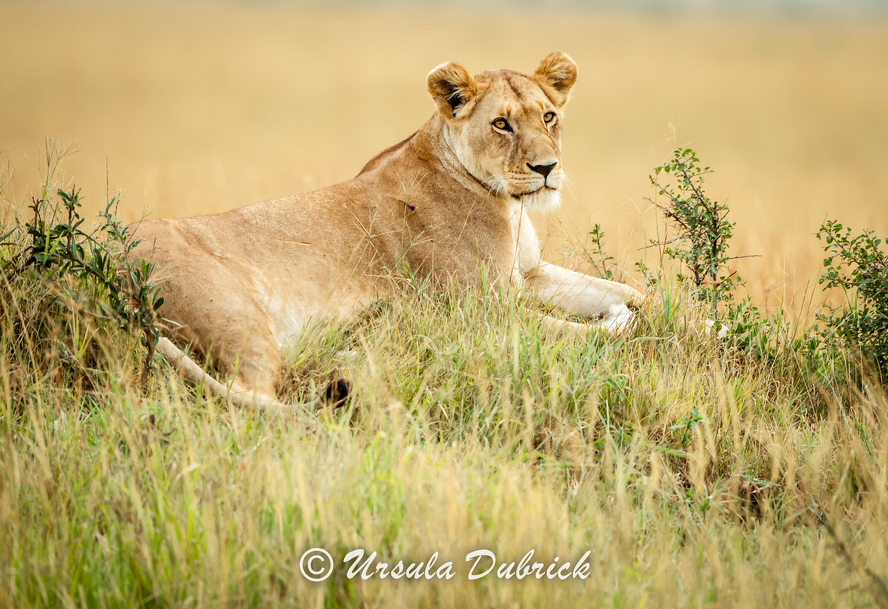 Female Lion Relaxing - Kenya, Masai Mara