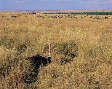 Kenya, Masai Mara National Reserve / Male Ostrich, Masai race, sitting on nest in the thick grasslands of Masai with Wildebeest in background.804H1