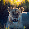 Amboseli Pride