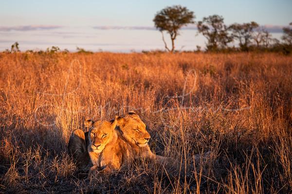 Lions on the Savannah