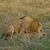 Lions in lust