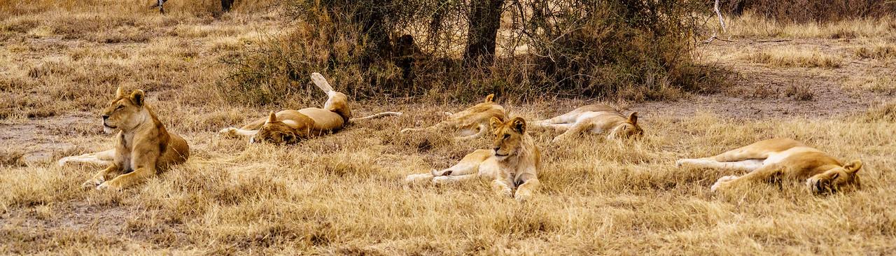 Lion Pride Pano