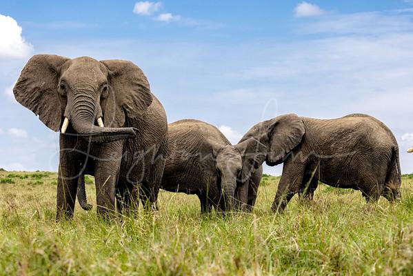 Mara Elephants