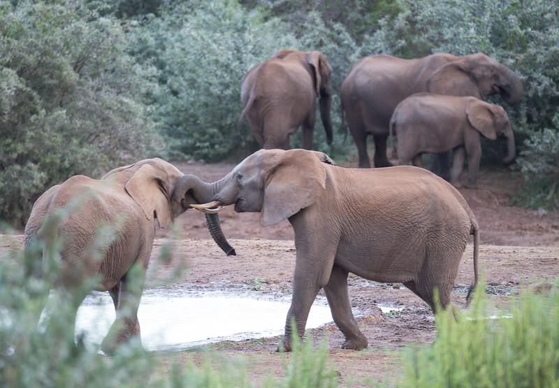 Two young elephants establishing dominance, Addo Elephant Natl Park