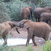 Two young elephants establishing dominance, Addo Elephant Natl Park