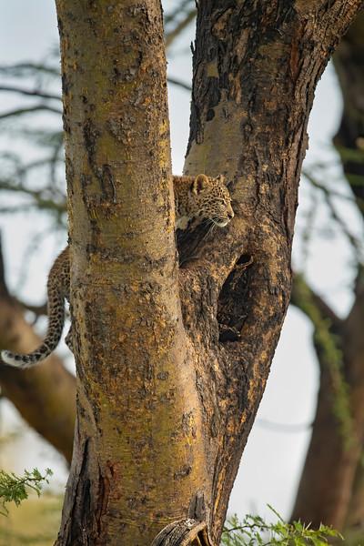 African leopard cub on an Acacia tree in Masai Mara Wildlife Refuge in Kenya
