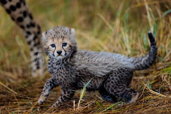 Sad cheetah cub 2