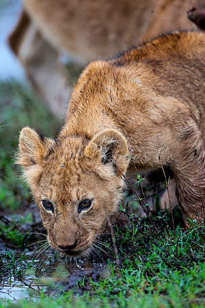 Baby Lion Cubs-3