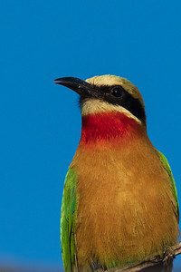 Cinnamon Chested Bee-Eater Portrait