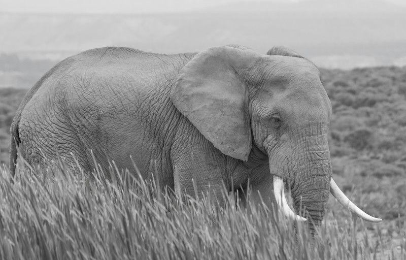 Bull Elephant (black and white), Addo Elephant National Park, South Africa