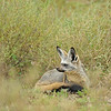 Bat-eared fox (Otocyon megalotis) in the plains of Ndutu in Ngorongoro conservation area in north Tanzania