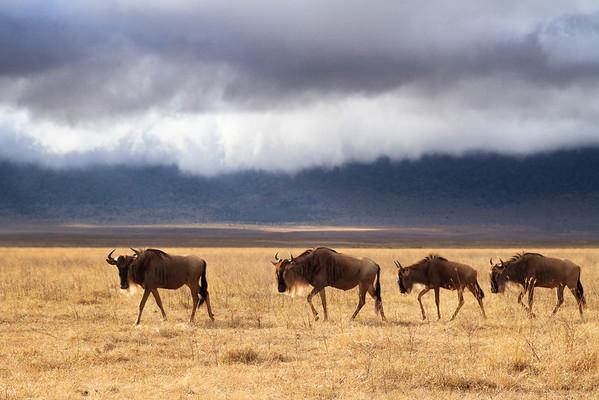 Four Wildebeest