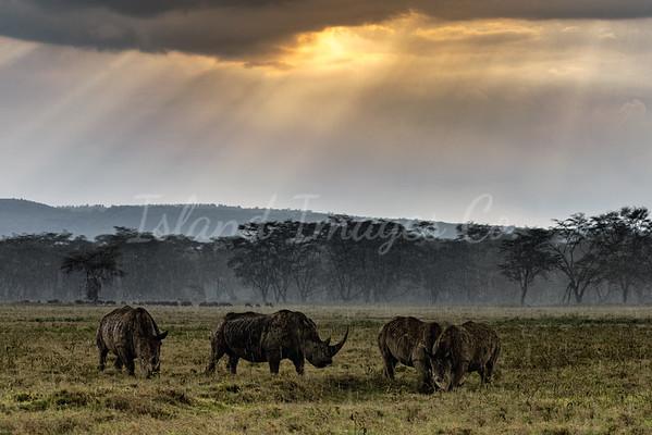 Raining Rhinos