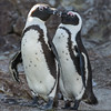 African Penguins, St. Croix Island, South Africa