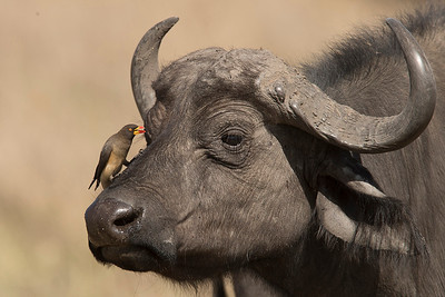 The perfect partnership - Oxpecker and the Buffalo