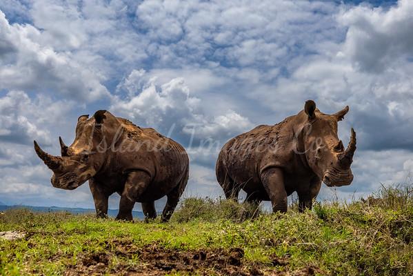 Low Angle White Rhinos
