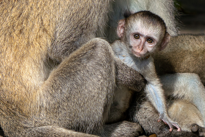 Baby Vervet Monkey in Mama's arms