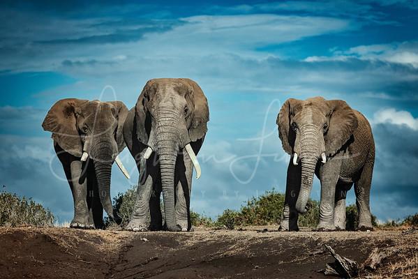 Amboseli Bull Elephants