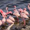 Lesser Flamingos 7227