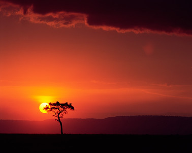 Kenya, Masai Mara National Reserve / Sunset behind silhouetted Acacia, Egyptica baratites, with vultures roosting at top.   804H5