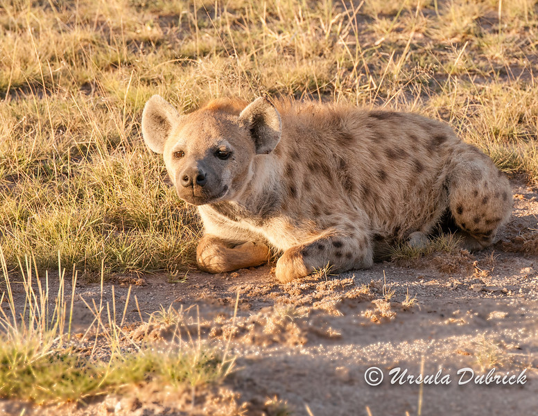 Hyena resting at sunrise