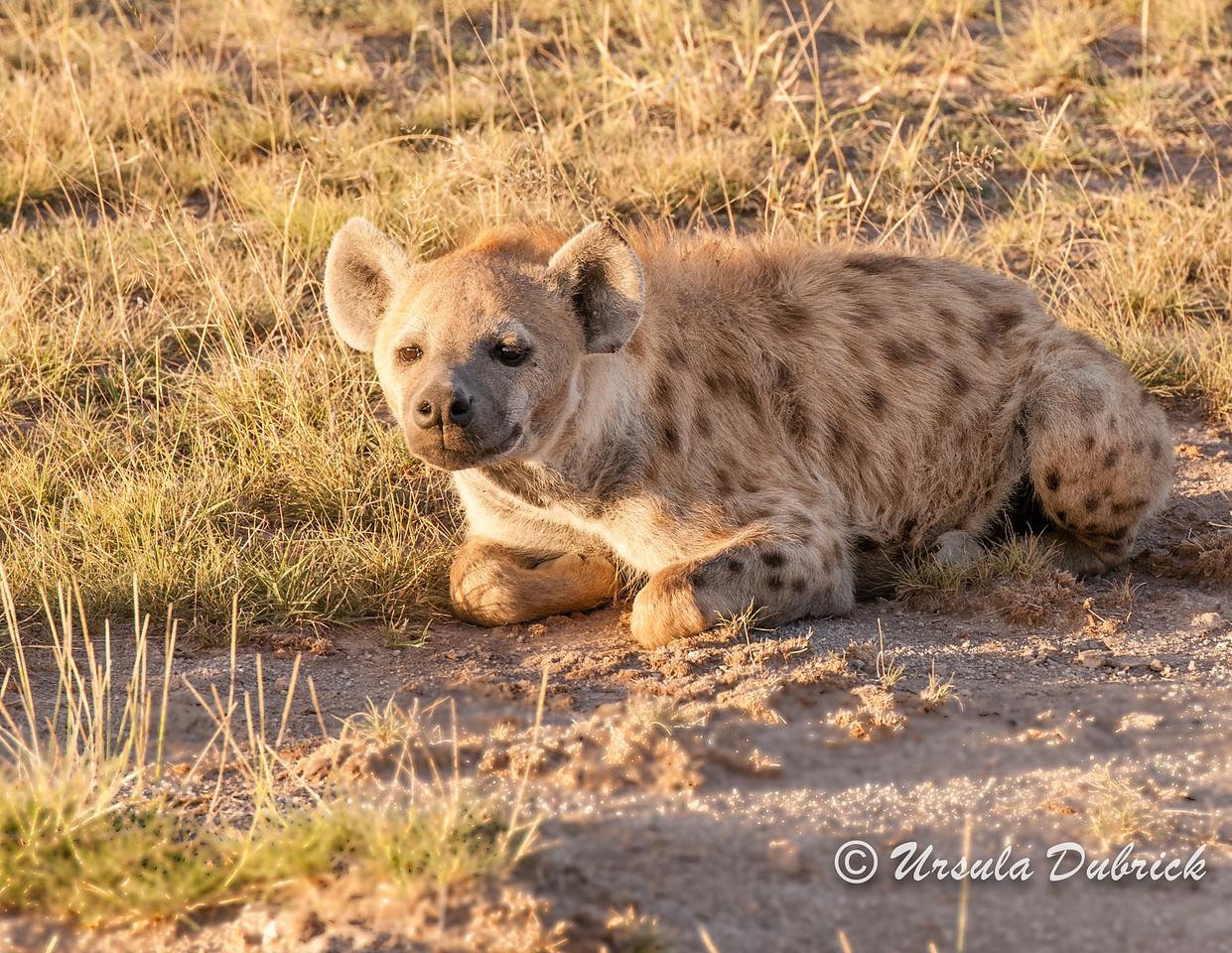 Hyena resting at sunrise
