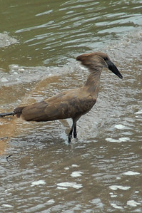 Hammerkop Tanzania 2008