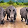 White rhinos trio