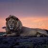 Mara sunset lion