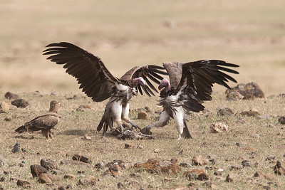 Vultures Feasting - Part 2/3