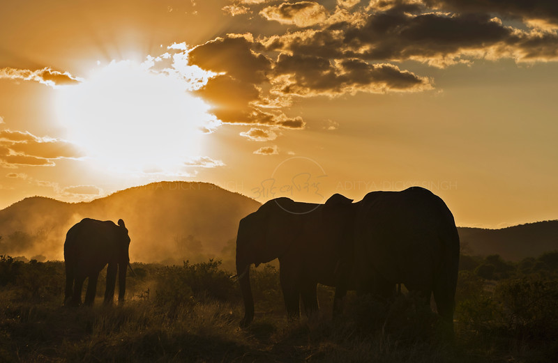 Backlit African elephants