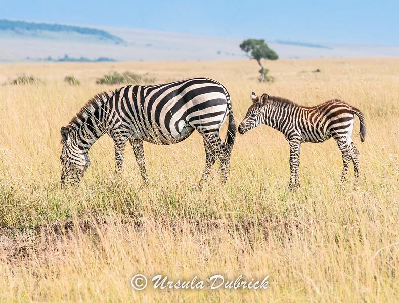 Baby Zebra with Mom - Kenya