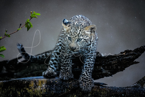 Baby Leopard in the tree