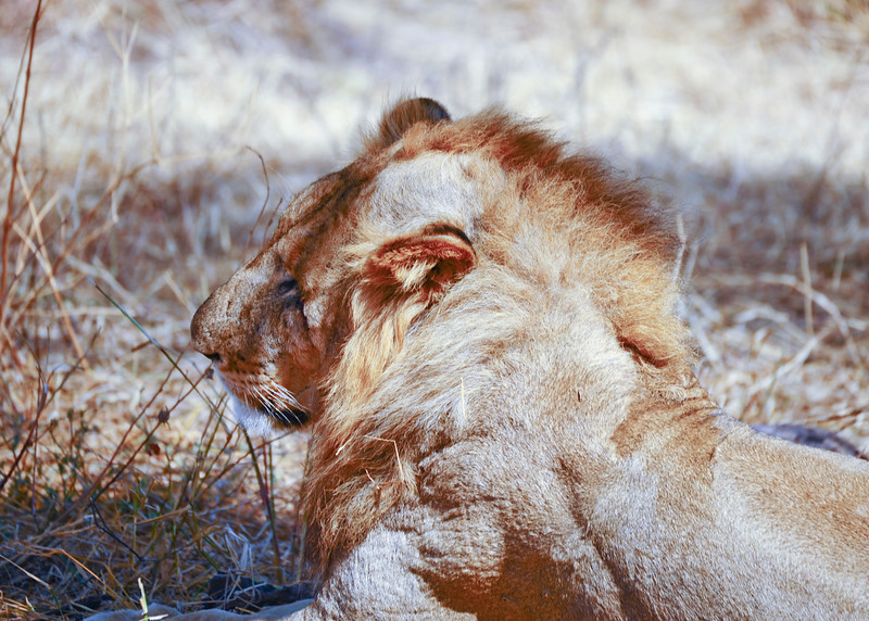 This young male lion has a very short and disorganized main. It is thought that the main purpose of the mane is to protect the lion's neck and throat in territorial fights with rivals.