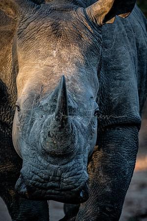 Charging Rhino Color