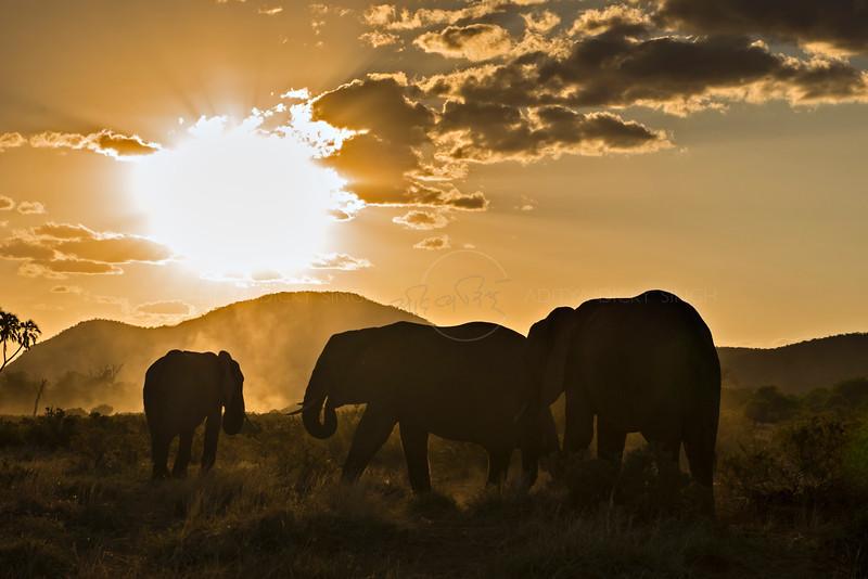 Backlit African elephants