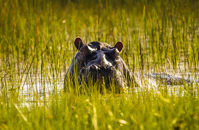 Sunset Hippo