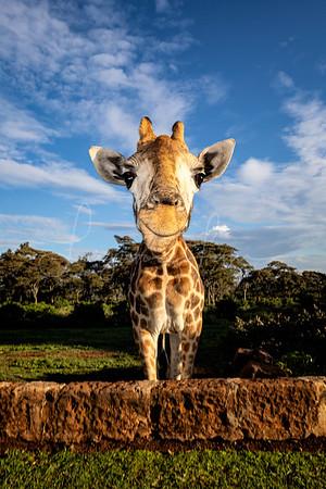 Ed the giraffe