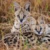 Serval Cat mom and kitten