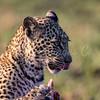 Leopard cub portrait 4