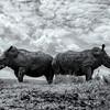 duo Rhino
