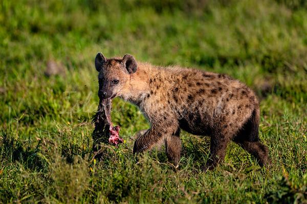Hyena roaming the Plains