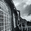 Giraffe manor bnw