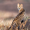 Mara serval cat 2