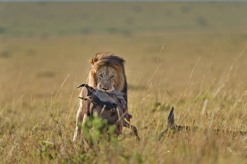 Lion with a wildebeest kill