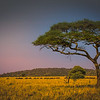 Acacia Tree, Serengeti Plains