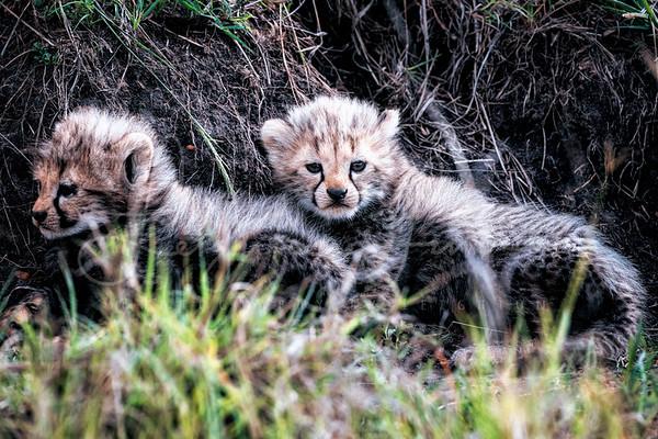 Cheetah Pups