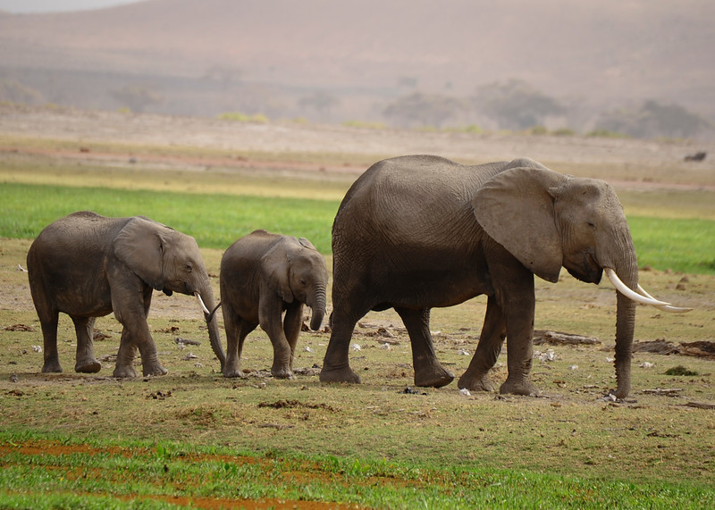 When an elephant drinks, it sucks as much as 2 gallons of water into its trunk at a time. Then it curls its trunk under, sticks the tip of its trunk into its mouth, and blows. The water then shoots out, right down its parched throat.