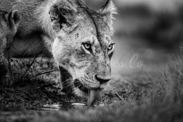 Lioness bnw