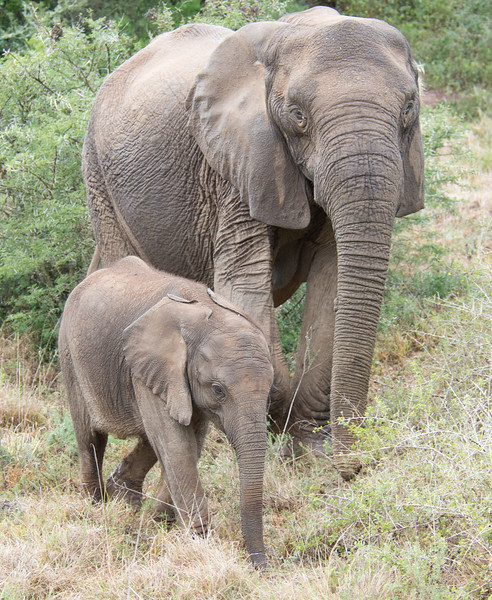 Cow Elephant with calf, Addo Elephant National Park, South Africa